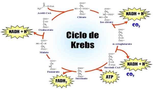 Foto de Ciclo do ácido cítrico: o que é, fases – resumo