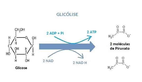 Foto de Glicólise: o que é, processos, função – Resumo