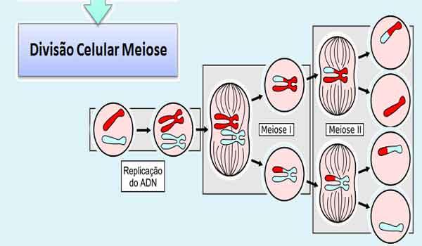 Foto de Meiose: I e II, o que é, fases, como ocorre – Resumo
