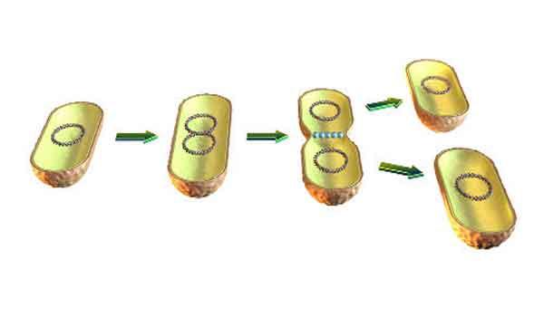 Foto de Fissão Binária – A divisão celular dos procariontes