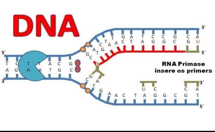 Foto de Replicação do DNA: entendas as etapas de Duplicação do DNA